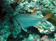 lattice-soldierfish-myripristis-violacea-squirrelfishes-holocentridae_14381