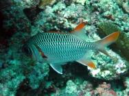 lattice-soldierfish-myripristis-violacea-squirrelfishes-holocentridae_14381