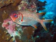 lattice-soldierfish-myripristis-violacea-squirrelfishes-holocentridae_3980