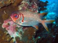 lattice-soldierfish-myripristis-violacea-squirrelfishes-holocentridae_3980