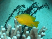 lemon-damsel-pomacentrus-moluccensis-damselfishes-pomacentridae_21063