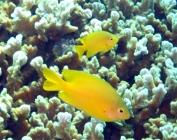 lemon-damsel-pomacentrus-moluccensis-damselfishes-pomacentridae_21065
