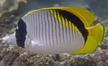 Lined Butterflyfish_Chaetodon lineolatus_Butterflyfish_Chaetodontidae