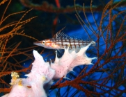longnose-hawkfish-oxycirrhites-typus-hawkfishes-cirrhitidae_23526