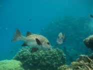 Many-spotted Sweetlips (Plectorhinchus chaetodonoides)