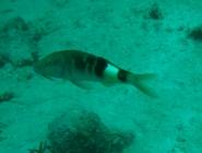 manybar-goatfish-parupeneus-multifasciatus-goatfishes-mullidae_1848