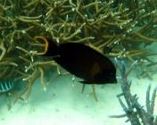 mimic-surgeonfish-acanthurus-pyroferus-surgeonfishes-acanthuridae_1380