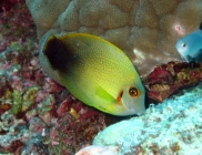 mimic-surgeonfish-acanthurus-pyroferus-surgeonfishes-acanthuridae_juv_15012