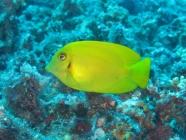 mimic-surgeonfish-acanthurus-pyroferus-surgeonfishes-acanthuridae_juv_30790