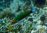 moon-wrasse-thalassoma-lunare-wrasses-labridae