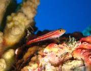 neon-triplefin-helcogramma-striatum-triplefins-tripterygiidae_30822