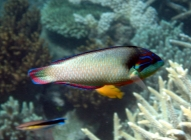 new-guinea-wrasse-anampses-neoguinaicus-wrasses-labridae_tp_6440