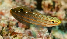 Old Glory_Amblygobious rainfordi_Gobies-Bobiidae