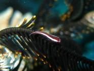 one-stripe-clingfish-discotrema-monogrammum-clingfishes-gobiesocidae_juv_33153