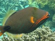 orange-lined-triggerfish-balistapus-undulatus-triggerfishes-balistidae_11220