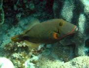 orange-lined-triggerfish-balistapus-undulatus-triggerfishes-balistidae_3242
