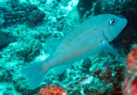 orange-striped-emperor-lethrinus-obsoletus-emperors-lethrinidae_37294
