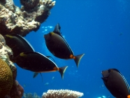 orangespine-unicornfish-naso-lituratus-surgeonfishes-acanthuridae_23937