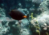 orangespine-unicornfish-naso-lituratus-surgeonfishes-acanthuridae_3179