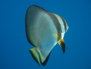 orbicular-batfish-platax-orbicularis-batfishes-ephippidae_10298