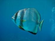 orbicular-batfish-platax-orbicularis-batfishes-ephippidae_23952