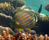 ornate-butterflyfish-chaetodon-ornatissimus-butterflyfishes-chaetodontidae_4132