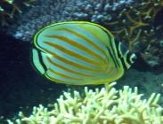 ornate-butterflyfish-chaetodon-ornatissimus-butterflyfishes-chaetodontidae_5889