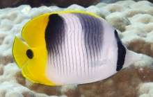 Pacific Double-saddle Butterfly fish_Chaetodon ulietensis_Butterflyfish_Chaetodontidae