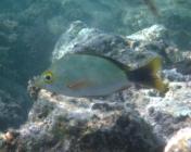 paddletail-lutjanus-gibbus-snappers-lutjanidae_juv_5620