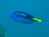 palette-surgeonfish-paracanthurus-hepatus-surgeonfishes-acanthuridae_38916