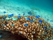 palette-surgeonfish-paracanthurus-hepatus-surgeonfishes-acanthuridae_juv_34664