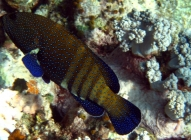 peacock-rockcod-cephalopholis-argus-seabasses-serranidae_23940