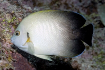 Pearl-scaled Angelfish_centropyge vrolikii_Angelfishes_Pomacanthidae