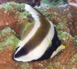 Pennant Bannerfish_heniochus chrysostomus_Butterfly fish_Chaetodontidae