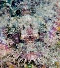 tasseled-scorpionfish