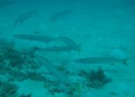pickhandle-barracuda-sphyraena-jello-barracudas-sphyraenidae_2526