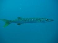 pickhandle-barracuda-sphyraena-jello-barracudas-sphyraenidae_2581