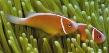 Pink Anemonefish_Amphiprion perideraion_Anemonefishes_Pomacentridae-Amphiprioninae