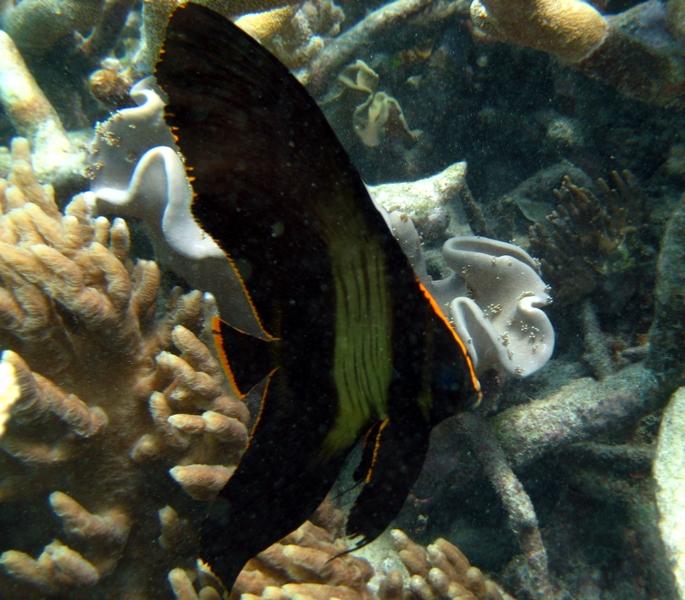Pinnate Batfish Info Pinnate Batfish Platax