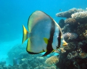 pinnate-batfish-platax-pinnatus-batfishes-ephippidae_39596