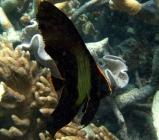 pinnate-batfish-platax-pinnatus-batfishes-ephippidae_juv_6453