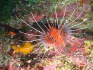 ragged-finned-firefish-pterois-antennata-scorpionfishes-scorpaenidae_14052