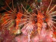 ragged-finned-firefish-pterois-antennata-scorpionfishes-scorpaenidae_26298