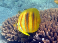 rainfords-butterflyfish-chaetodon-rainfordi-butterflyfishes-chaetodontidae_5606