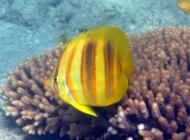 rainfords-butterflyfish-chaetodon-rainfordi-butterflyfishes-chaetodontidae_5606