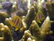 rainfords-butterflyfish-chaetodon-rainfordi-butterflyfishes-chaetodontidae_juv_12638