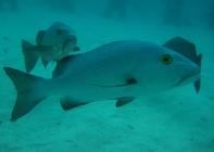 red-bass-lutjanus-bohar-snappers-lutjanidae_25746