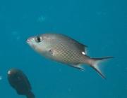 red-bass-lutjanus-bohar-snappers-lutjanidae_juv_4247