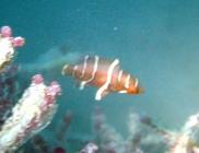 redbreasted-maori-wrasse-cheilinus-fasciatus-wrasses-labridae_juv_6084