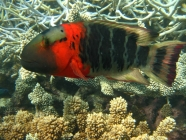 redbreasted-maori-wrasse-cheilinus-fasciatus-wrasses-labridae_tp_25044